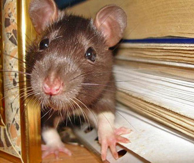 uteplitel-gryzut-myshi-i-krysy